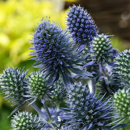 Blue Hobbit Sea Holly Perennial - Eryngium - Live Plant - Quart Pot