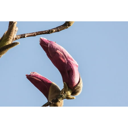 Peel-n-Stick Poster of Bloom Bloom Bush Spring Plant Magnolia Blossom Poster 24x16 Adhesive Sticker Poster Print