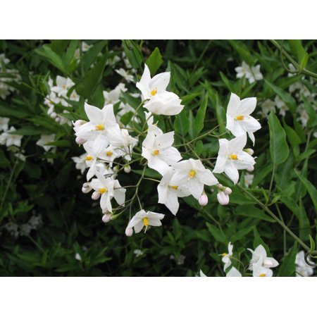 Vine White Flowers Full Sun Walmart