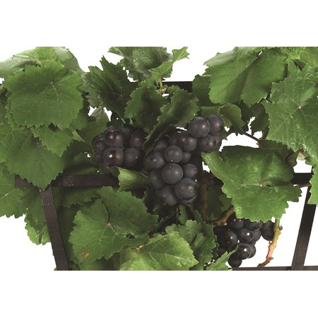 "Amazing Pixie Pinot Meunier Grape Vine Plant  -2.5"" Pot- World"