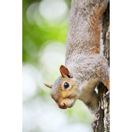 LAMINATED POSTER Rodent Nature New York Animal Squirrel Poster Print 24 x 36