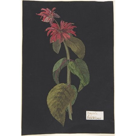 Monarda Didymascarlet Lions Tail Poster Print By The Hon William Booth Grey  British 1773   1852   18 X 24