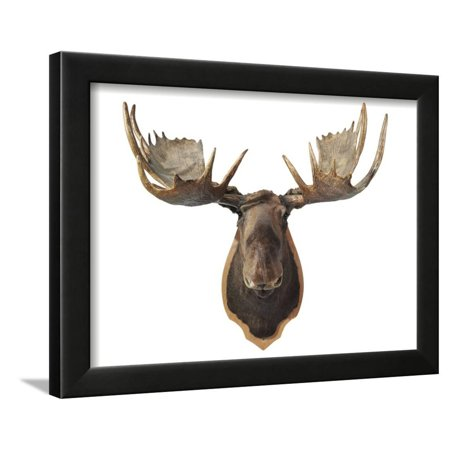 Canadian Taxidermy Moose Head Hunting Trophy, Mounted on an Oak Shield, Vancouver Framed Print Wall Art ()