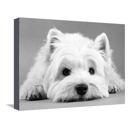 - West Highland White Terrier Cute Dog Photo Stretched Canvas Print Wall Art By Steimer