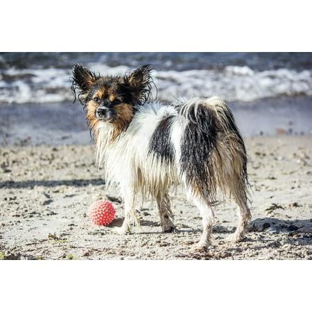 Black And White Beach Ball (LAMINATED POSTER Play Black And White Beach Dog Sea Pet Ball Poster Print 24 x)