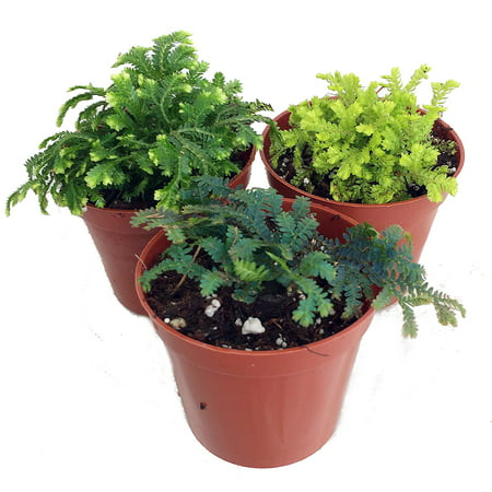 3 Club Moss Plants - Selaginella -  Terrariums, Fairy Gardens - 2