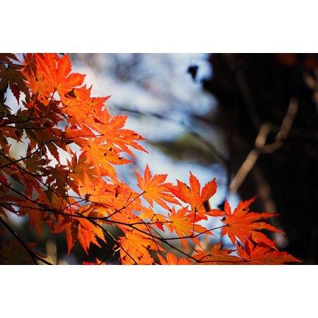 Laminated Maple Wood - LAMINATED POSTER Autumn Leaves Wood Autumn Red Maple Leaf The Leaves Poster Print 24 x 36