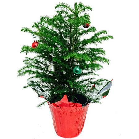 Norfolk Island Pine - Christmas Tree - 6