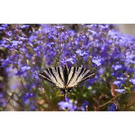LAMINATED POSTER Wing Flutter Animal Dovetail Fly Butterfly Insect Poster Print 24 x 36 - Flutter Fly Fairies