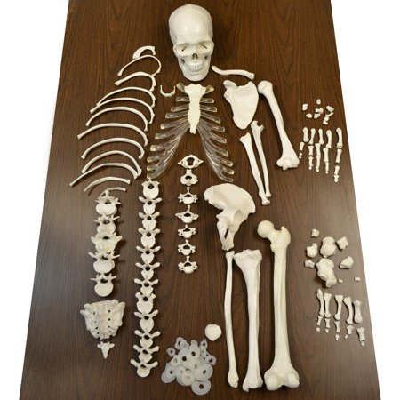 - Disarticulated Human Skeleton, Half, Medical Quality, Life Sized (62