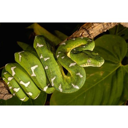 Emerald Tree Boa adult Amazon Ecuador Poster Print by Pete -