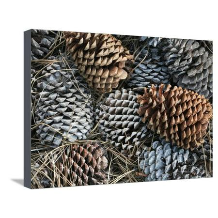 David Cone Hand Signed - Ponderosa Pine Cones (Pinus Ponderosa), Lassen National Park, California, USA Stretched Canvas Print Wall Art By David Cobb