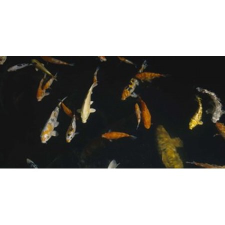 Close-up of a school of fish in an aquarium Japanese Koi Fish Capitol Aquarium Sacramento California USA Poster Print (Japanese Koi Fish)