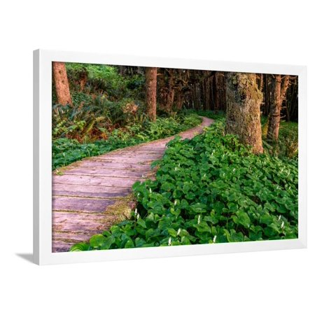 False Lily of the Valley plant growing near Boardwalk in Temperate Rainforest Framed Print Wall
