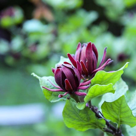 LAMINATED POSTER Sweet Shrub Calycanthus Floridus Dark Red Flower Poster Print 24 x