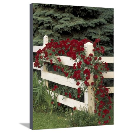Roses on White Wooden Fence, Louisville, Kentucky, USA Stretched Canvas Print Wall Art By Adam Jones](Wooden Roses Usa)