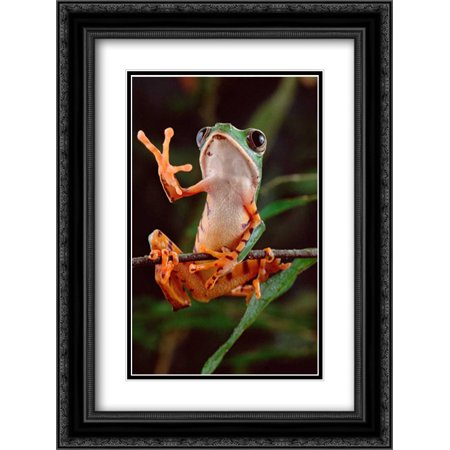 Tiger-striped Leaf Frog also known as Barred Leaf Frog, waving, Amazon rainforest, Brazil 2x Matted 18x24 Black Ornate Framed Art Print by Meyer, Claus