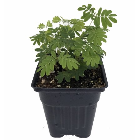 Sensitive Plant - Leaves Move - Mimosa pudica - 3