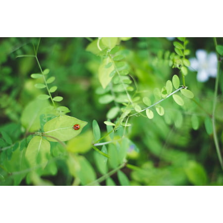 LAMINATED POSTER Leaves Ladybug Nature Green Plants Poster Print 24 x 36