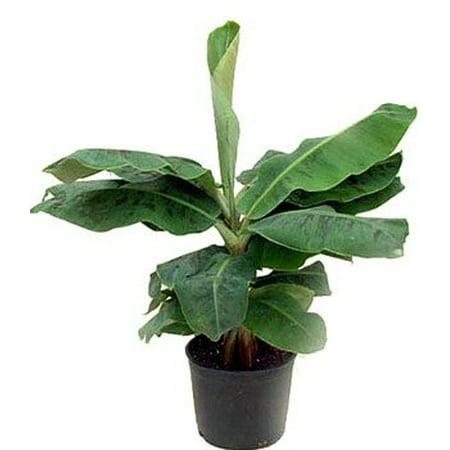 Dwarf Banana Plant Musa 4 Quot Clay Pot Better Growth