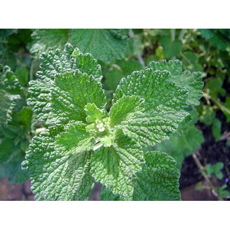 Ancient Garden Champagne (Horehound Plant  - Marrubio - Marrubium vulgare - Ancient Herb - 3
