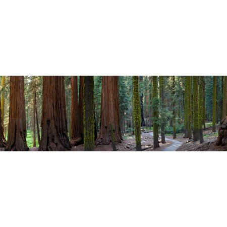 Redwood Trees in a Forest, Sequoia National Park, California, Usa Print Wall Art By Panoramic Images
