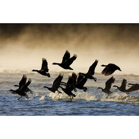 Canada Geese Take Flight On A Misty Winter Morning In Sub Zero Temps Lynn Canal Inside Passage Southeast Alaska Winter Canvas Art - John Hyde  Design Pics (17 x 11) ()