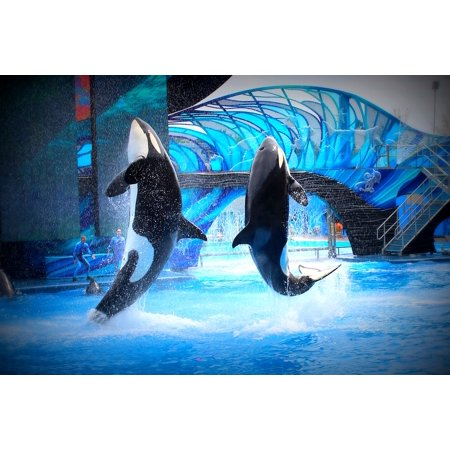 Canvas Print Jump Show Killer Whales Aquarium Sea World Stretched Canvas 10 x 14
