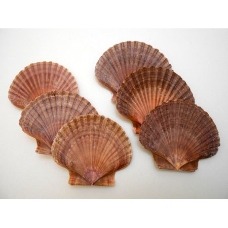 Set of 6 Beautiful Mexican Flat Scallops Shells Seashells (about 3