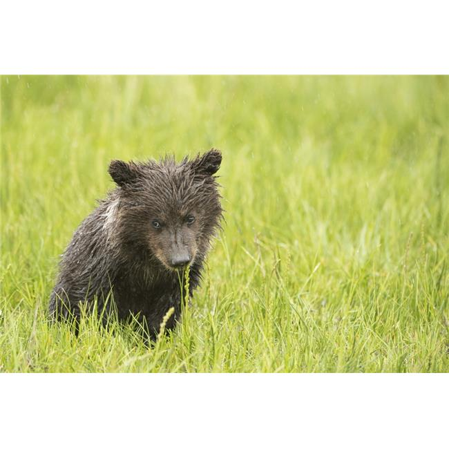 Posterazzi DPI12256177LARGE Grizzly Bear Poster Print - 38 x 24 in. - Large - image 1 of 1