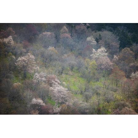 USA, North Carolina. Hardwood Trees Blooming in Spring Print Wall Art By Jaynes Gallery