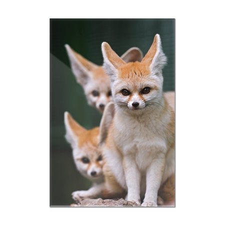 Fennec Foxes   Lantern Press Photography  8X12 Acrylic Wall Art Gallery Quality