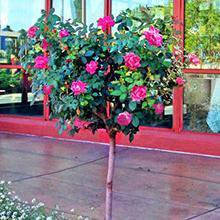 Pink Knock Out® Rose Tree Blooming Pear Tree