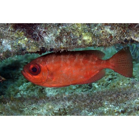 A red Bigeye hovers under a coral reef ledge in the Atlantic Ocean off the coast of Key Largo Florida Poster Print