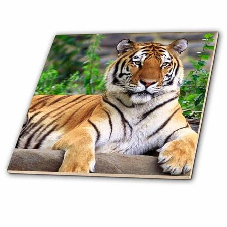 3dRose Siberian Tiger - Ceramic Tile, 4-inch (Tiger Framed Tile)