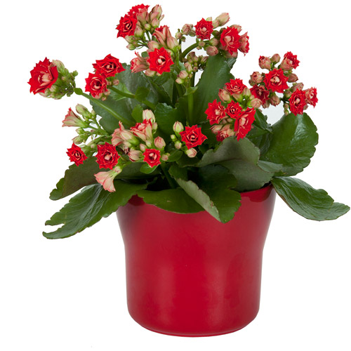 "Exotic Angel Plants 4.5"" Red Kalanchoe I"