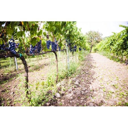 Red Grapes at a Vineyard on Mount Etna Volcano, UNESCO World Heritage Site, Sicily, Italy, Europe Print Wall Art By Matthew Williams-Ellis