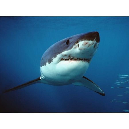 Great White Shark swimming underwater Neptune Islands Australia Digitally enhanced Poster Print by Mike Parry