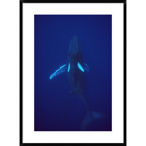 Global Gallery 'Humpback Whale Calf Riding the Pressure Wave Created By Its Mother, Hawaii' Framed Photographic Print