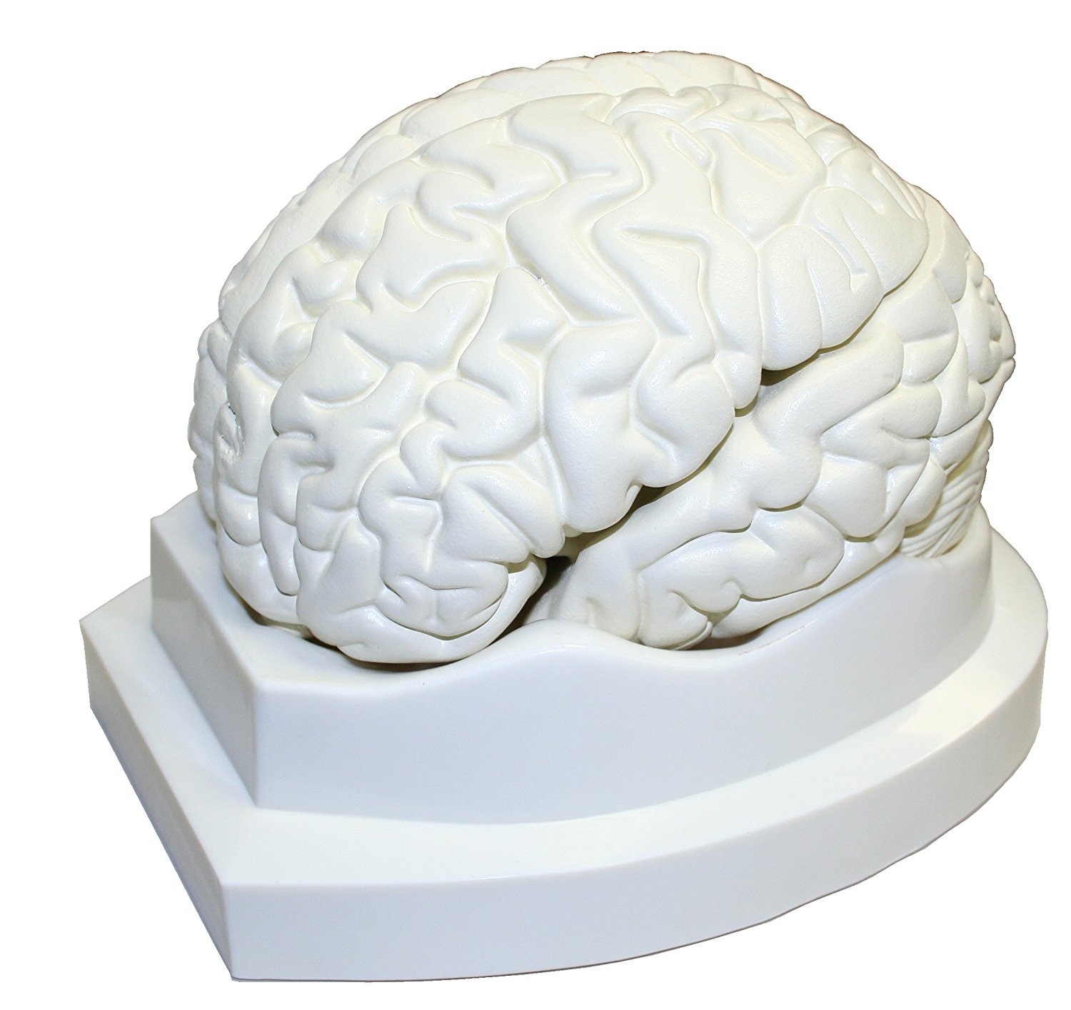 Vision Scientific Life Size Brain Models-3 Parts