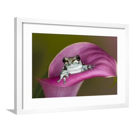 Mission golden-eyed tree frog or Milk frog, native to Amazon rainforests of South America Framed Print Wall Art By Adam Jones