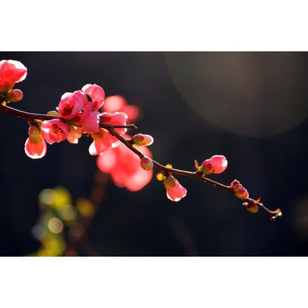 a37e45b55439 LAMINATED POSTER Sky Japanese Flowering Crabapple Tree Flower Nature Poster  Print 11 x 17