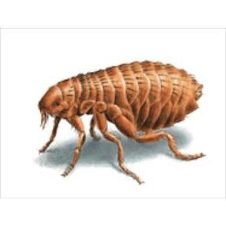 A Crash Course on How to Get Rid of Fleas - eBook (Best Way To Get Rid Of Fleas)