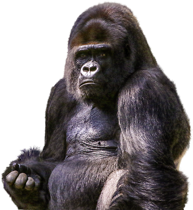 Peel N Stick Poster Of Zoo Png Ape Primate Wild Gorilla Mammal