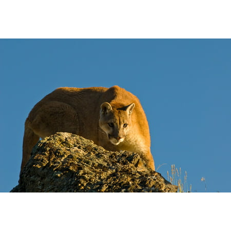 Crouching Cat (Canvas Print Crouching Carnivore Cougar Puma Mountain Lion Cat Stretched Canvas 10 x)