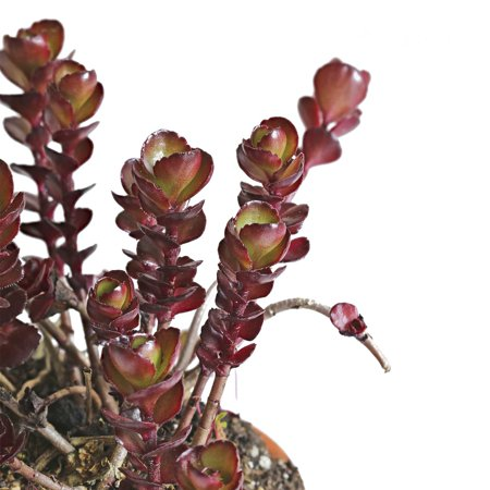 Sedum Seeds - Voodoo Variety - 1000 Seeds - Red Leaves, Rose Flowers - Perennial Groundcover - Flower Garden - Sedum Spurium ()