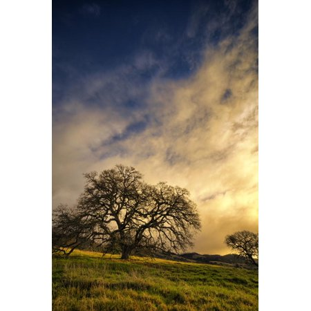 Warm Morning Light and Oak Trees, Mount Diablo, San Francisco Bay Area Print Wall Art By Vincent (Best Trees For Bay Area)