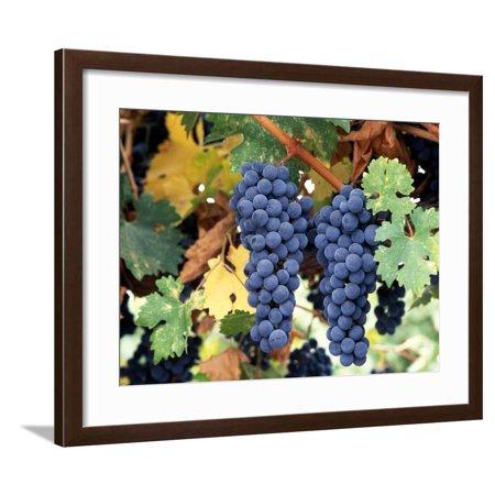 Cabernet Sauvignon Grapes, Napa Valley, California Framed Print Wall Art By Karen