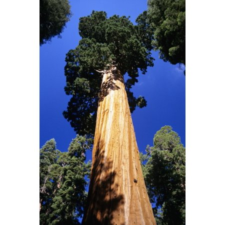 USA Low angle view of tall trees at Sequoia National Park California