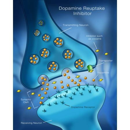 Reuptake Inhibitor (Dopamine Reuptake Inhibitor Poster Print by Monica SchroederScience)